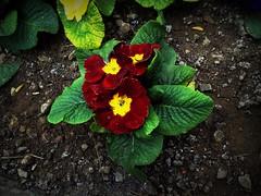 Primrose (Anna Gelashvili) Tags: flower цветочки garden сад цветок flowers primrose примула цветы ყვავილი ყვავილები ფოთლები plant soil почва растение leaf macro bright лист макрос яркий