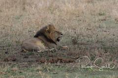 Lion (robsall) Tags: 2016 500mm 7dmark2 7dmarkii 7dm2 7dmii africa africatourism africawildlifephotography africanwildlife big bigcat bigcats canon canon500mmf4lisiiusm canon500mmf4 canon500mmf4lii canon500mmf4ii canon7dmark2 canon7dmarkii canon7d2 canon7dm2 canoneos canoneos7dmark2 canoneos7dm2 carnivore cat endangered family feline largefelines lion lioness lions mammal pantheraleo predator robsallaeiral robsalldrone robsalldronephotography robsallphotography robsallwildlifephotography tanzania tanzania2016 vacation vulnerable mararegion