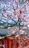 The plum blossoms in Kitano Tenmangu Shinto Shrine 2018/03 No.7(taken by film camera). (HIDE@Verdad) Tags: nikonf ニコン nikon nikkorsauto55mmf12 nikkor nikkorauto fujifilm rdpiii