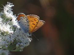 Bronze Copper butterfly (Bug Eric) Tags: animals wildlife nature outdoors insects bugs butterflies lycaenidae lepidoptera delaware usa female bronzecopper lycaenahyllus coppers delawarecity northamerica october22017
