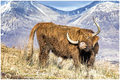 When You've Got An Itch (Sharon Emma Photography) Tags: whenyouvegotanitch itch scarch mountains snowcappedmountains snow highland coo highlandcattle bòghàidhealach heilancoo cow cattle breed brindle wavycoat isleofskye skye skai anteileansgitheanach eileanacheò skíð peninsula innerhebrides scotland scottishhebrides pictureperfect picturesque view nature naturalworld wildlife wild ngc beautiful pretty ideal stunning peaceful nikon nikond7200 d7200 sharonemmaphotography sharongoldring sharonemmagoldring sharondowphotography sharondow february2018 2018 holiday travelling