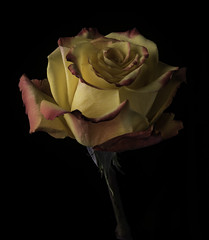 Pink And Yellow Rose In The Light (Bill Gracey 18 Million Views) Tags: rose rosa roses fleur flower flor nature naturalbeauty pink yellow offcameraflash blackbackground color colorful sidelighting textures colors yongnuo yongnuorf603n homestudio tabletopphotography