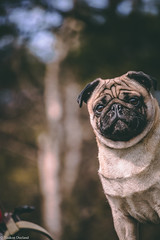 Hike 29.03.18 (Dueland Foto) Tags: hike nature walk forest animal animals pet pets pug puglife norway norwegian snow snowy cabin