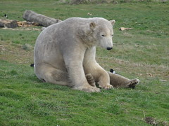 Taking a break (Nobby) (LadyRaptor) Tags: yorkshirewildlifepark yorkshire wildlife park doncaster ywp nature outdoors spring time springtime warm sunny grass log logs bird birds aves magpie magpies crow corvid corvids sitting looking watching tired sleepy rest resting chilling relaxed relaxing happy content cute animal animals predator carnivore caniformia ursidae polarbear polarbears male polar bear bears ursusmaritimus projectpolar nobby