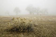 morning fog and rabbit brush (eDDie_TK) Tags: colorado co larimercountyco larimercounty ftcollinsco lovelandco fog trees rabbitbrush weather