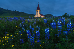 Down By The Church (Iurie Belegurschi www.iceland-photo-tours.com) Tags: beautiful clouds cloudy church daytours dreamscape fineart fineartlandscape fineartphotography fineartphotos finearticeland guidedphotographyworkshops guidedtoursiceland guidedphotographytour guidedtoursiniceland icelandphototours iuriebelegurschi iceland icelandic icelanders icelandphotoworkshops icelandphotographyworkshops icelandphotographytrip landscapephotography landscape landscapephoto landscapes landofthemidnightsun landscapephotos midnightsun nationalpark nature overcast phototours photographyiniceland phototour photographyworkshopsiniceland tranquil summer serene tours travelphotography tripsiceland tutorials view workshop lupines lupins flowers wildflowers blooms flora floral