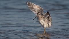 Short-billed Dowitcher (Limnodromus griseus) (ER Post) Tags: bird dowitcher florida2018 shorebird shortbilleddowitcherlimnodromusgriseus trips saintpetersburg florida unitedstates us
