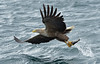 White-tailed Eagle (KHR Images) Tags: whitetailedeagle seaeagle haliaeetusalbicilla eagle birdofprey flying hunting isleofmull innerhebrides scotland scottish wildlife nature wild bird nikon d500 kevinrobson khrimages