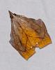 Snout Moth (Pyralidae, Chrysauginae, Id ?) (berniedup) Tags: belizon roura guyane snoutmoth pyralidae chrysauginae