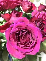 Rose (kasias2) Tags: garden flower love roses rose pink deeppink