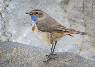 white spotted bluethroat (12 of 15)