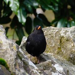 Male blackbird: lookout on a wall (Dave_A_2007) Tags: turdusmerula bird blackbird nature wildlife wilmcote warwickshire england