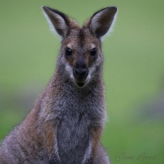 Just love this wallaby's cute smile :) . . (Jane_L_Impressions) Tags: redneckedwallaby australia kangaroo wallaby ifttt instagram