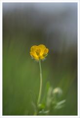 Fiore 241 (Outlaw Pete 65) Tags: macro closeup fiore flower colori colours giallo yellow verde green natura nature nikond600 sigma105mm collebeato lombardia italia