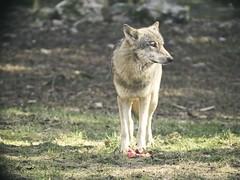20180408-153203 - Wolf - Schleswig-Holstein - Deutschland
