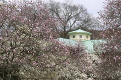 Blossoming trees in April (witajny) Tags: naturepictures nature naturephotography park garden brooklynbotanicgarden newyork trees magnoliatrees building