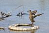 What a girl! (The kun) Tags: nikon nikond610 sigma sigma70200mmf28exdgapooshsm werner animalplanet animal bird duck mallard water shine sun bath