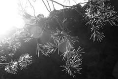 Brins de pins (miquelopezgarcia) Tags: 2014 nadal christmas vacances holydays christmasholydays canon450d eos canon tamronlenses tamron baixemporda emporda catalonia catalunya cataluña girona youngphotographers rural pobles blackandwhite blancoynegro blancinegre contraste pins pinos fulles contrallum calapedrosa llafranc costabrava