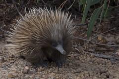 Echidna - Kangaroo Island - Australia (wietsej) Tags: echidna kangaroo island australia rx10 iv rx10m4 sony animal