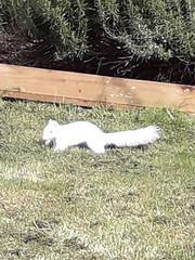 albino squirrel (47604) Tags: sqirrell white albino lawn green home