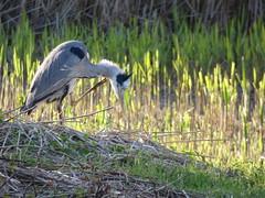 Heron (LouisaHocking) Tags: heron bird birds british wildlife wild cardiff forestfarm nature