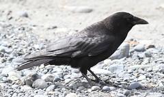 Northwestern Crow (Corvus caurinus) 06-05-2017 Anchorage Point, Kenai Peninsula Co. AK 7 (Birder20714) Tags: birds alaska crows corvidae corvus caurinus