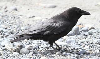Northwestern Crow (Corvus caurinus) 06-05-2017 Anchorage Point, Kenai Peninsula Co. AK 7