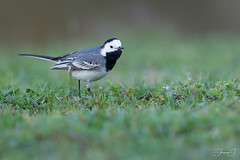 Bergeronnette grise (Tifaeris) Tags: ariège bergeronnettegrise domainedesoiseaux mazères motacillaalba motacillidés passériformes whitewagtail bird oiseau