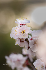 Spring flower (uko2) Tags: flower bokeh nature outdoors nostalgia romantic blossom bloom blooming flora floral spring 100f28lismacro macro 春 梅 花 tree outdoor cherry cherryblossom bright plum