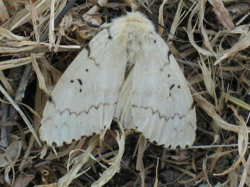 Lymantria dispar ♀ - Gypsy moth (female) - Непарный шелкопряд (самка)