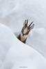 Camoscio alpino (Mauro Gialdini) Tags: rupicaprarupicapra camoscio alpino