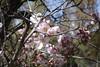 Almendros en Flor (koukat) Tags: madrid spring sundays sunny domingos primavera parque park garden alemdras flor enfloracion blossoms quinta de los molinos almond grove farm
