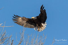 Female Bald Eagle returns to the nest - 13 of 29