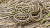 Plains Garter Snake [Thamnophis radix] (kkchome) Tags: herping herp herpetology reptile snake garter plains thamnophis radix nature wildlife fauna wetlands flipping kansas cheyenne bottoms