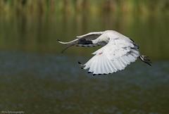 Australian White Ibis (Mykel46) Tags: australian white ibis bif nature sony a9 100400mm