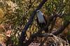 White-bellied sea eagle -Haliaeetus leucogaster -Talbot Bay (7) (ailognom2005) Tags: whitebelliedseaeagle haliaeetusleucogaster talbotbay australia kimberleyregion birds florafauna