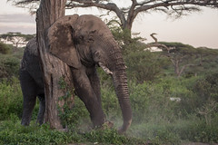 Just...there! (Ring a Ding Ding) Tags: africa elephant loxodontaafricana ndutu nomad serengeti tanzania action bullelephant nature safari scratching wildlife coth coth5