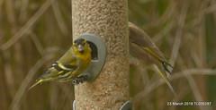 Siskin P1270590 (Pitzy's Pyx, keep snapping away!.) Tags: homegarden lumixfz1000 birds