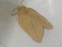 Euthrix potatoria ♀ - The Drinker (female) - Травяной шелкопряд (самка) (Cossus) Tags: euthrix lasiocampidae pinarinae анциферово коконопряд 2006