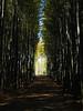 Bamboo Grove  KYOTO (atria2718) Tags: japan nippon kyoto bamboo tree light shadow 日本 京都 竹林 竹 光 影
