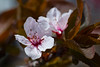 plum blossom (johngpt) Tags: kiron105mmf28macrofdmount fotodioxfdfxadapter flower flowers plumblossoms fujifilmxt1