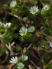 ハコベ (nofrills) Tags: plant plants flora floral flowers weed weeds spring roadside tokyo japan ハコベ chickweed commonchickweed white whiteflowers whiteflower macro