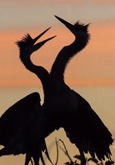 wake-up call (fins'n'feathers) Tags: delraybeach florida wakodahatcheewetlands animals birds nesting rookery wetlands wildlife herons greatblueherons silhouette orange sunrise clouds sky