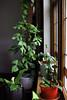 Best Spot in the House (pedeypie3) Tags: philodendroncordatum philodendron monsteraadansonii rhaphidophoratetrasperma windowsill indoorgarden adelaide southaustralia garden