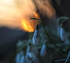 Snowdrops in the evening. (agnieszka.a.morawska) Tags: dof manualfocus manuallens helios44m helios light sunset spring snowdrop bkhq beyondbokeh bokehlicious bokeh