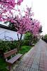 Sakura Road (HCC1985) Tags: fuji xt10 cherry flower chair 123 新竹