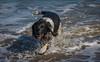Our dog's favourite treat. (pitkin9) Tags: ourdog seaside swimming splashing havingfun skegness england 7dwffauna