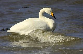 Whooper Swan Mistley Essex