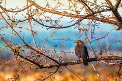 Berries (Sergio '75) Tags: bird uccelli blackbird nature natura natur naturaleza naturallight natural naturephotograph naturephotography wildlife winter canon canoneos70d sigma150600mmf563dgoshsmc colors colorful