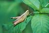 DSC05529_ILCE-7M2_2015-07-25_JPEG (sRGB)Normal (Nori-Neco) Tags: insect grasshopper バッタ 虫 昆虫 nature